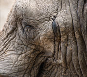 Close up facial portrait of African Elephant Loxodonta Africana Royalty Free Stock Image