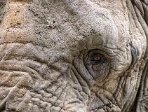 Close up facial portrait of African Elephant Loxodonta Africana Royalty Free Stock Images