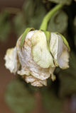 Close up of faded dry white rose. Withered flower. Tinted photo.  Royalty Free Stock Images