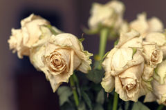 Close up of faded dry white rose. Withered flowers. Tinted photo.  Stock Photo