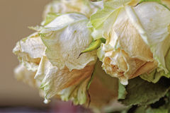 Close up of faded dry white rose. Withered flowers. Tinted photo.  Royalty Free Stock Photos