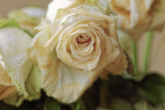 Close up of faded dry white rose. Withered flowers. Tinted photo.  Stock Photos