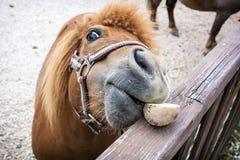 Close up of the falabella miniature horse. Falabella miniature horse eats potato. Humorous animal photo Stock Photo