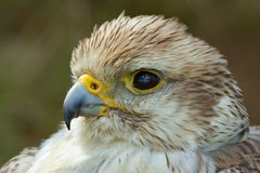 A close-up of a falcon Stock Photo