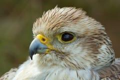 A close-up of a falcon Stock Photo