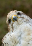 A close-up of a falcon. In a german zoo Royalty Free Stock Image