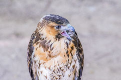 Close-up of falcon Royalty Free Stock Image
