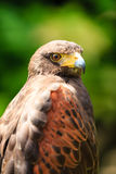 Close up of a Falcon Stock Photography