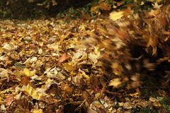 Fall leaves blowing. Close-up of fall autumn leaves blowing in the wind Royalty Free Stock Photo