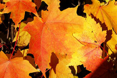 Close-up of fall colored maple tree leaves. Close-up of brigh orange and yellow leaves of sugar maple tree Royalty Free Stock Image