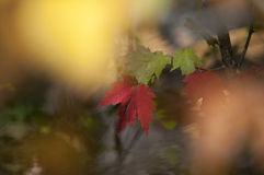 Fall Foliage Autumn Leaves Close Up Background. Close up of Fall Foliage Autumn leaves in shadows with red and green blurred background Stock Photography