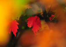 Fall Foliage Autumn Leaves Close Up Background. Close up of Fall Foliage Autumn leaves in shadows with red and green blurred background Royalty Free Stock Photos