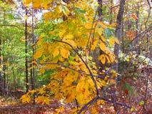 Fall foliage on tree Royalty Free Stock Photos