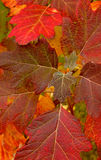 Close-up fall leaves Royalty Free Stock Photo