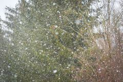 Close up of falling snow flakes on forest background. Falling snow background. Close up of falling snow flakes on forest background. Winter christmas composition Royalty Free Stock Images