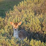 Close-up of a fallow deer in the Amsterdam water supply dunes near to Amsterdam and Zandvoort.  stock image