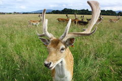 Close up of a fallow deer buck in a green field. Phoenix Park, Dublin, Ireland. A portrait of a relaxed fallow deer buck with beautiful large horns with Stock Images