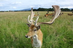 Close up of a fallow deer buck in a green field. Phoenix Park, Dublin, Ireland. A portrait of a relaxed fallow deer buck with beautiful large horns with Royalty Free Stock Photography