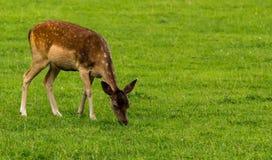 Fallow deer calf grazing. Close up of a fallow deer calf cervus dama / dama dama grazing royalty free stock image