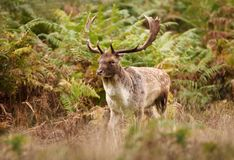 Close up of a Fallow deer in autumn royalty free stock photo