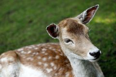 Fallow deer dama dama. Close-up of fallow deer dama dama on the meadow. Phtography of wildlife royalty free stock photos