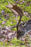 Close-up of fallow-deer eating showing head and antler. Close-up of fallow-deer eating. Side view of head and antler royalty free stock photography