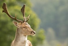 A close up of a fallow deer`s head royalty free stock photos