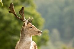 A close up of a fallow deer`s head stock photo