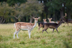 Close-up fallow deer standing in autumn wood Stock Photo