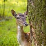 Close-up fallow deer in wild nature Stock Photos