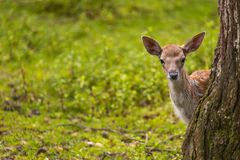 Close-up fallow deer in wild nature Royalty Free Stock Images