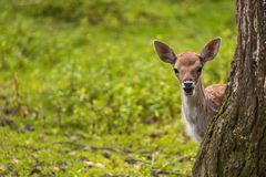 Close-up fallow deer in wild nature Stock Photography