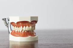 Close up of false teeth teaching aid. Close up view of dentures model sitting on desk for teaching concepts about dentistry Stock Image