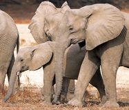 Close up of a Family of African elephants  in South Luangwa, Zambia Royalty Free Stock Photos