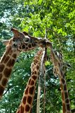 Close up of a family of reticulated giraffe eating. Head and neck portrait of a family of reticulated giraffe eating from a tree Royalty Free Stock Images