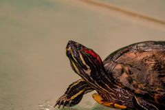 Close up from a fantastic colored turtle royalty free stock image