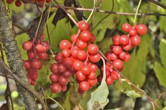 Berries of Far-Eastern plant Schisandra chinensis. A close up of the Far-Eastern medicinal plant Schisandra chinensis with berries Royalty Free Stock Images