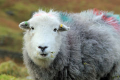 Close-up of a farm sheep Royalty Free Stock Photography