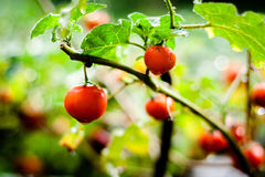 Close up of Farm tasty red tomatoes on the bushes Stock Image