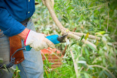 Close up of a farmer carrying out the pruning of an olive branch by pruning shears Stock Photos