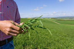 Close up of farmer examining young wheat crop Stock Photography