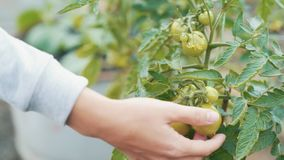 Close up farmer hands check green tomatoes for ripeness at garden. Concept vegetable. Close up farmer hands check green tomatoes for ripeness at garden. Growth stock video