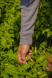Close up farmer`s hand keeping fresh chilli pepper plant in the Royalty Free Stock Images