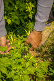 Close up farmer`s hand keeping fresh chilli pepper plant in the Stock Image