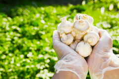 Close-up of a farmer`s hand in rubber transparent gloves hold mushrooms champignons Stock Photography