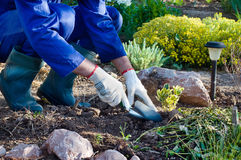 Close-up of farmer's hands planting a bush Royalty Free Stock Image