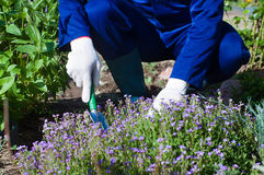 Close up of farmer's hands planting a phlox subulate Stock Image