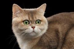 Close-up Fat British Cat Gold Chinchilla, Green eyes, Isolated Black Royalty Free Stock Image