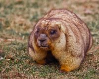 Close-up fat fat woodchuck with beautiful fur sitting on the green grass. Close-up fat fat woodchuck with beautiful fur and necks sitting on the green grass royalty free stock photography