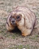 Close-up fat fat woodchuck with beautiful fur sitting on the green grass. Close-up fat fat woodchuck with beautiful fur and necks sitting on the green grass stock photo